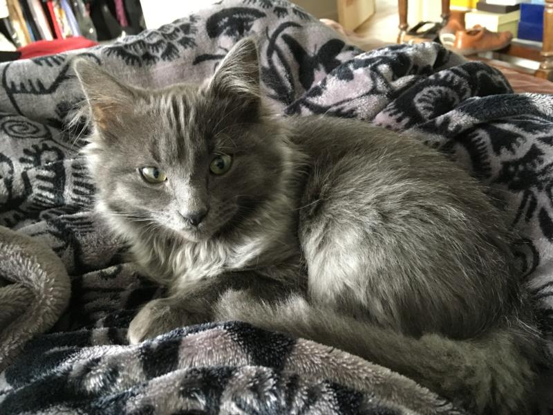 ORKAAN, chaton mâle gris à poils mi longs, né vers le 25/06/18 Img_1525