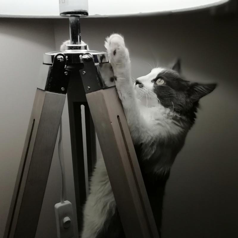 Oberyn, chaton blanc et gris poils longs, né le 27.08.18 Img_2032