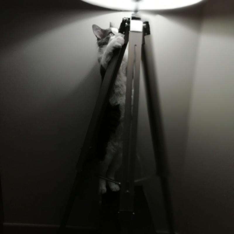 Oberyn, chaton blanc et gris poils longs, né le 27.08.18 Img_2033