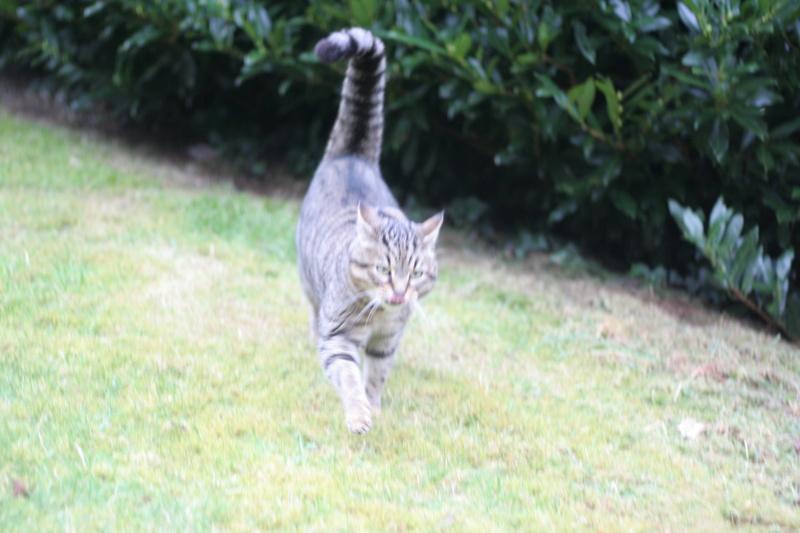 Idina, femelle tigrée, née le 01/01/13, chatte libre à Scaer Img_2122