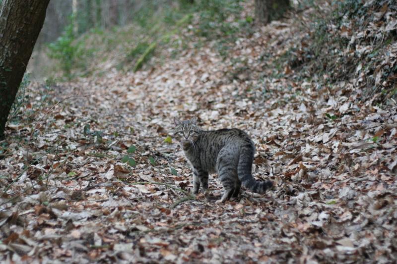 Idina, femelle tigrée, née le 01/01/13, chatte libre à Scaer Img_2124