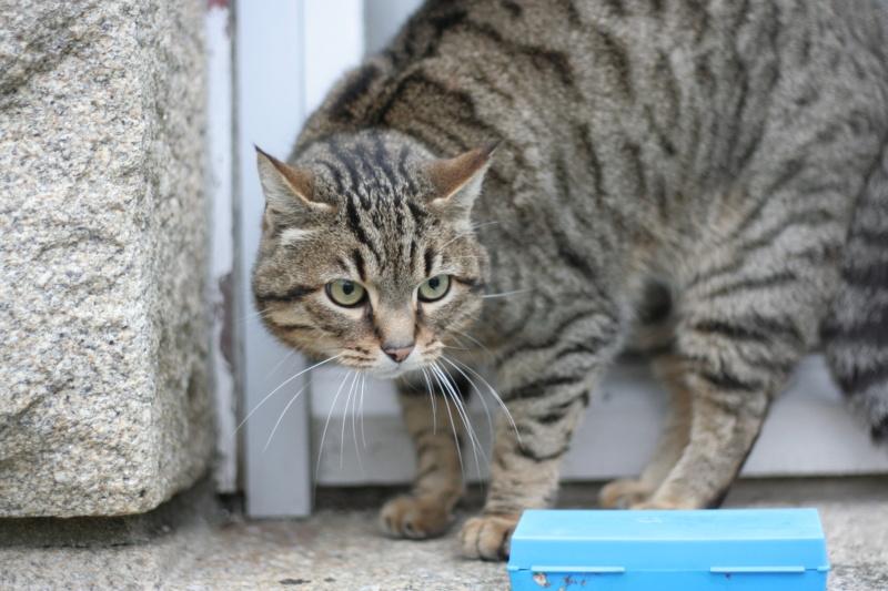 Idina, femelle tigrée, née le 01/01/13, chatte libre à Scaer Img_2125