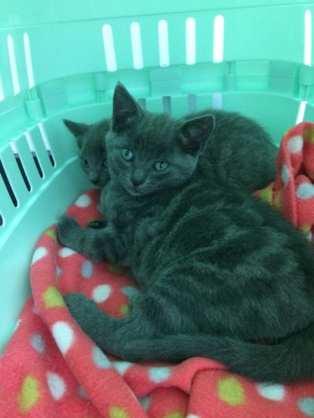 RAMSA, chatonne gris tigrée, née le 07.05/20 Img_2833