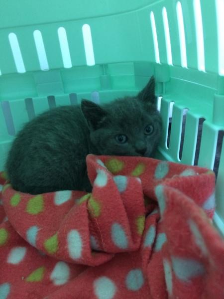 RAMSA, chatonne gris tigrée, née le 07.05/20 Img_2836