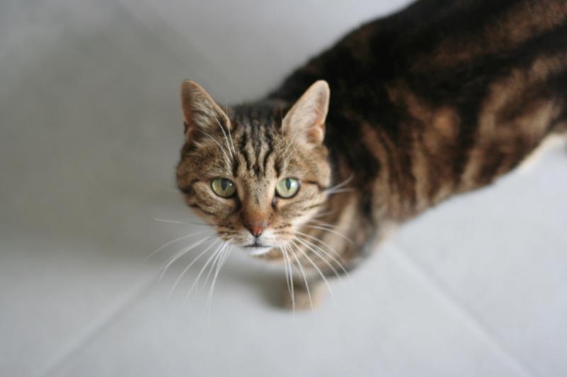 Enola, femelle marron Tabby, née le 14/08/2009 Img_3823