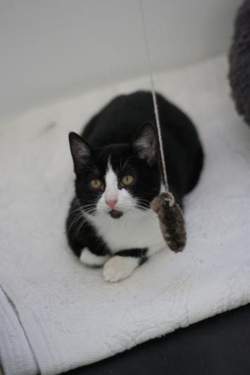 RUBICKS, chaton noir et blanc né le 15.10.20 Img_5825