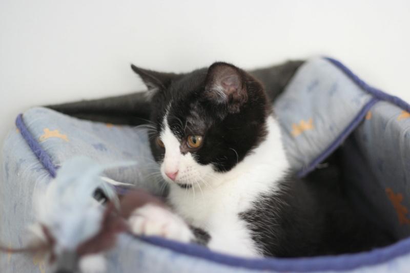 RUBICKS, chaton noir et blanc né le 15.10.20 Img_5910