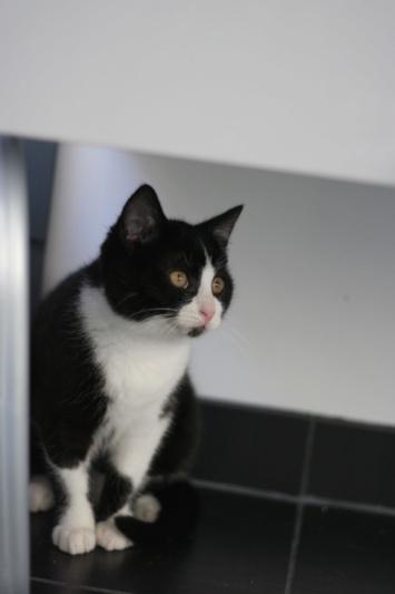RUBICKS, chaton noir et blanc né le 15.10.20 Img_5911
