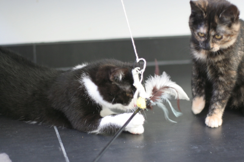 RUBICKS, chaton noir et blanc né le 15.10.20 Img_5912