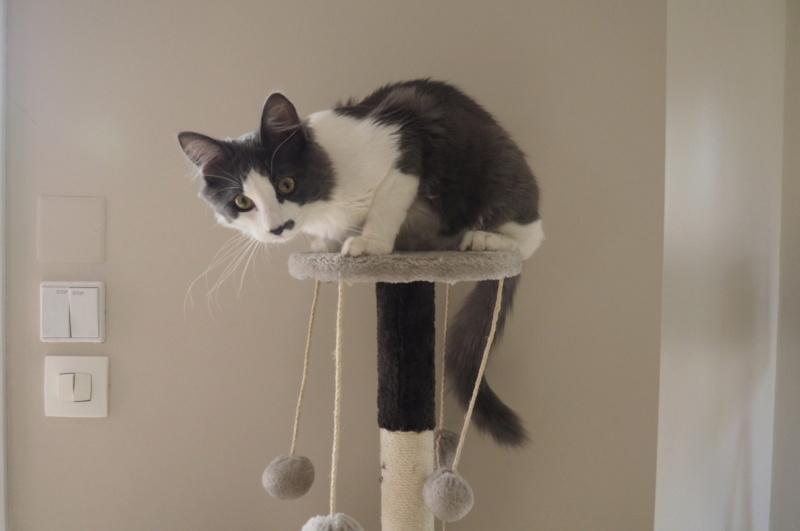Oberyn, chaton blanc et gris poils longs, né le 27.08.18 Oi000010
