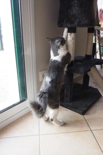 Oberyn, chaton blanc et gris poils longs, né le 27.08.18 Oi000011