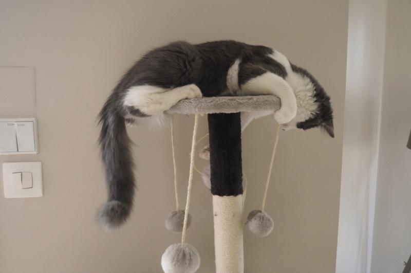 Oberyn, chaton blanc et gris poils longs, né le 27.08.18 Oi000012