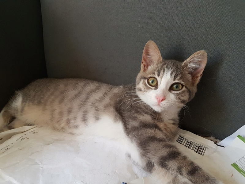 Olivetti, chatonne gris tabby et blanc, née le 01/05/18 Oli_110