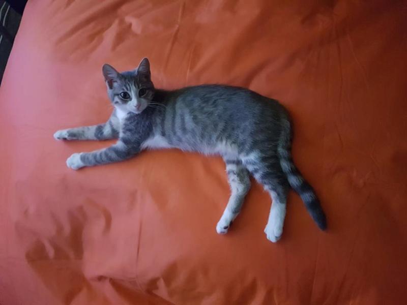 Olivetti, chatonne gris tabby et blanc, née le 01/05/18 Oli_210