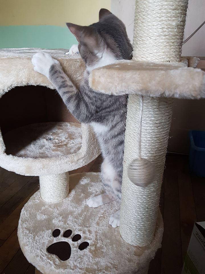 Olivetti, chatonne gris tabby et blanc, née le 01/05/18 Oli_310