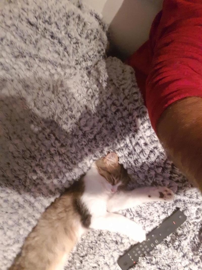 OPI chat mâle robe mi long Tabby Blanc né en Avril 2018  Opi10