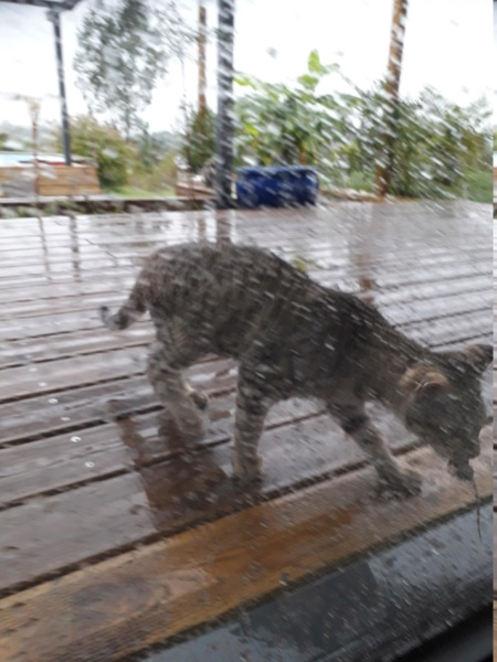 Orlan, chaton mâle brown tabby, né le 12.04.2018 Orlan210