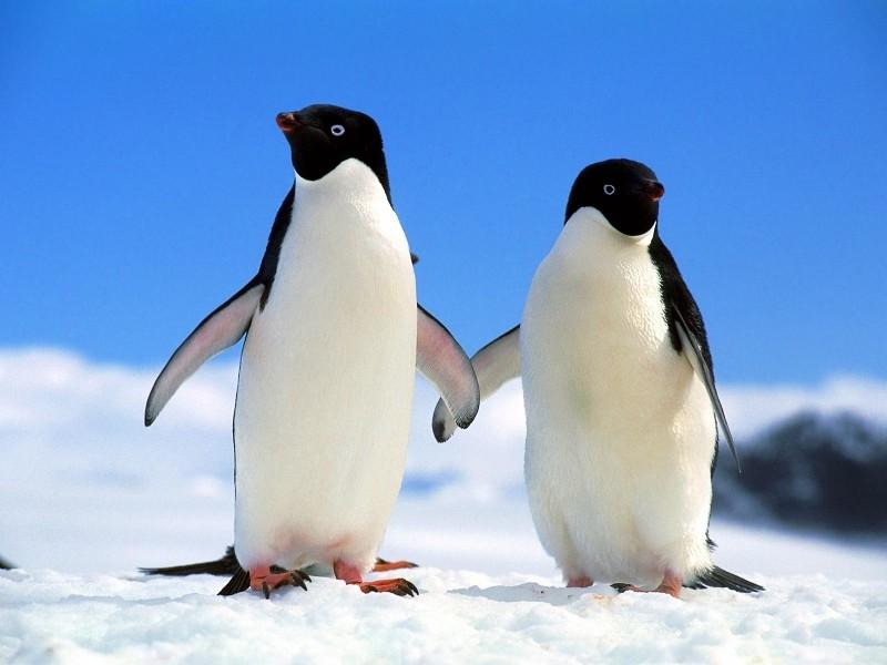 Эти удивительные животные, птицы и другие создания природы Pingvi10