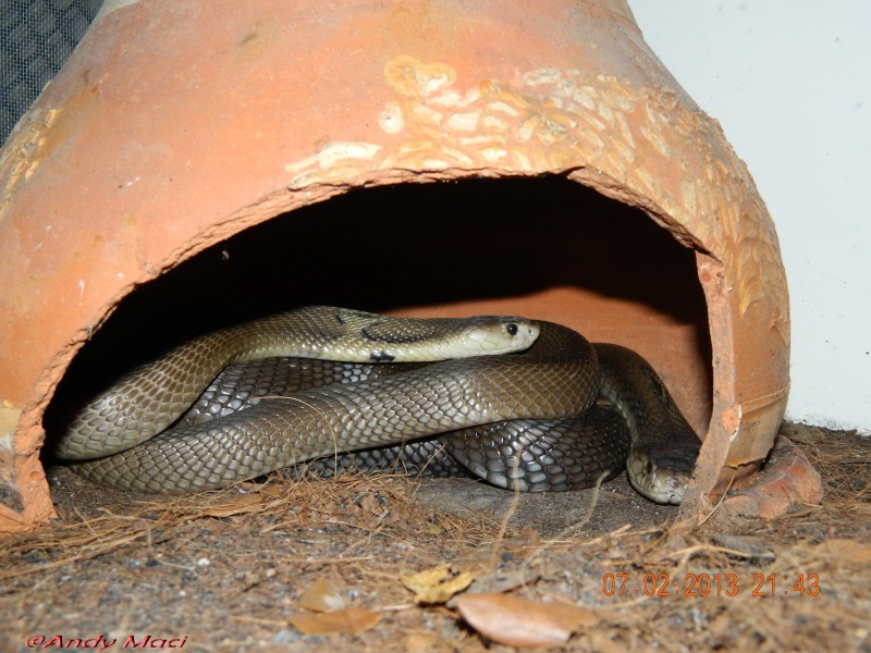 Mes Cobras monocle thailandais (Naja kaouthia Het.Axanthic) Asian_15