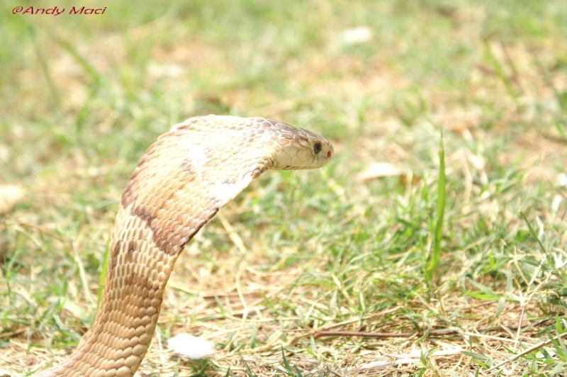 Speciale Cobra monocle Naja kaouthia Het.Axanthic - Page 2 Pict0018