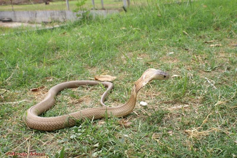Speciale Cobra monocle Naja kaouthia Het.Axanthic - Page 2 Pict0019