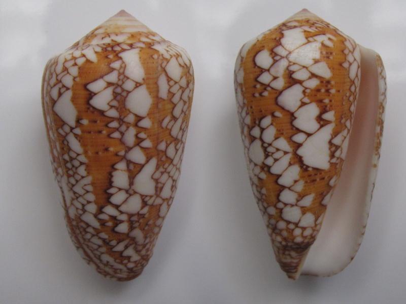 Conus (Darioconus) behelokensis   Lauer, 1989 Img_5910