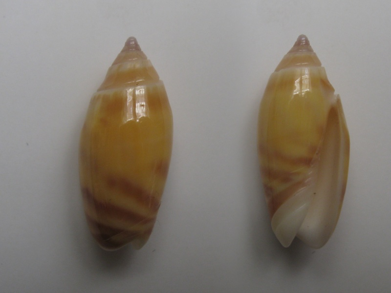 Annulatoliva buelowi buelowi (Sowerby, 1890) Img_6212