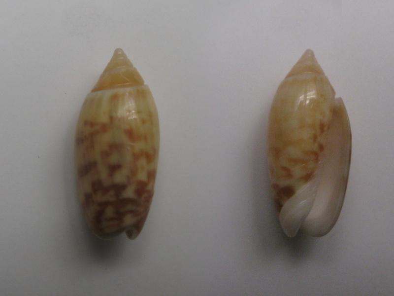 Annulatoliva buelowi buelowi (Sowerby, 1890) Img_6213
