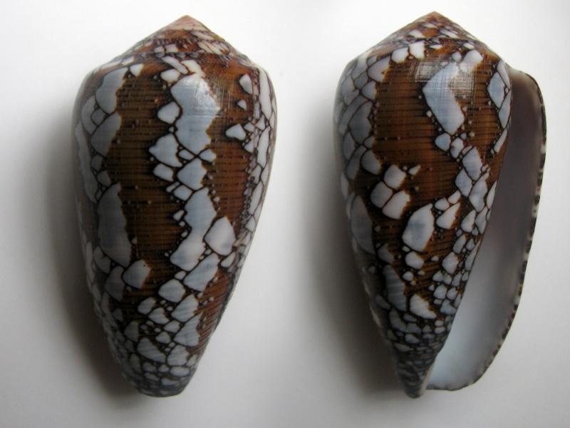 Conus (Darioconus) behelokensis   Lauer, 1989 - Page 2 Img_6311