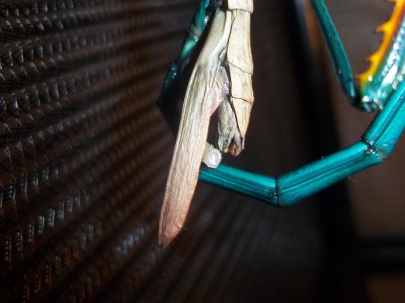 Mes Achrioptera fallax 100_3012