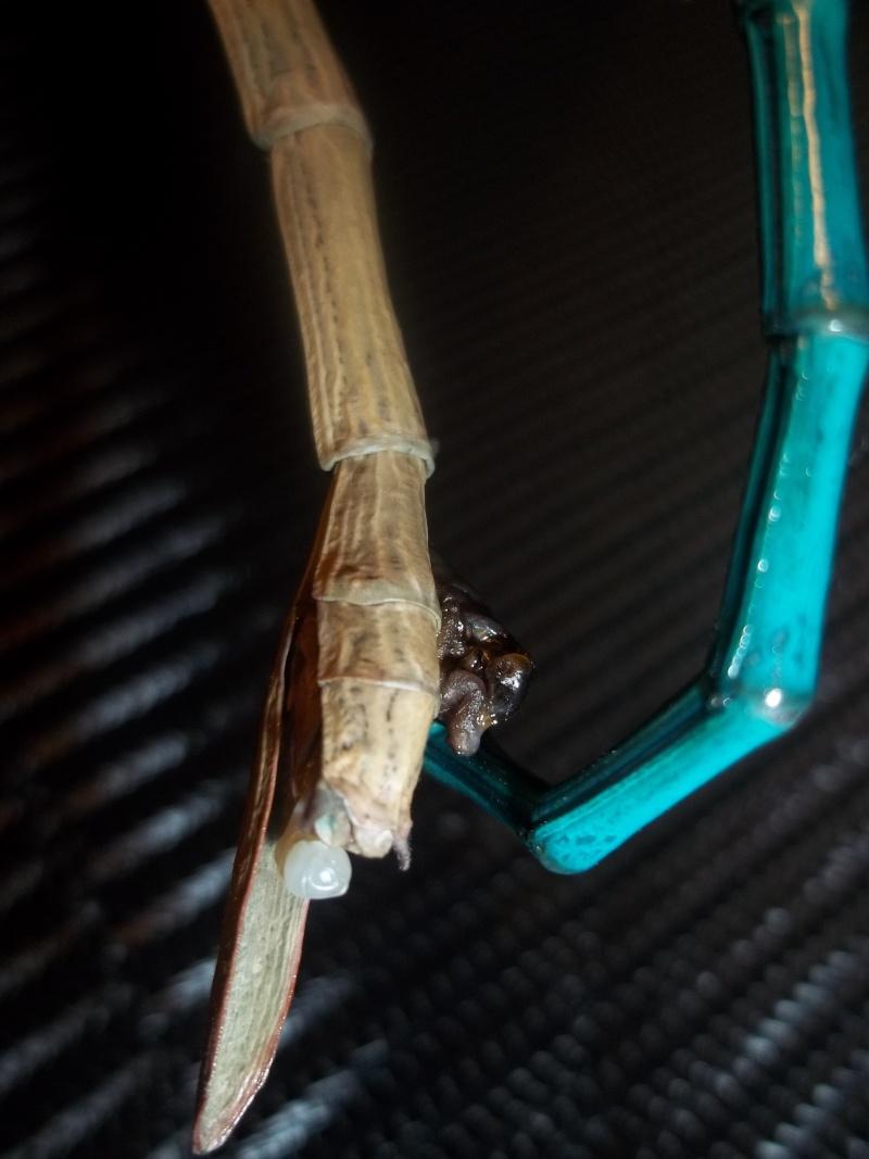 Mes Achrioptera fallax 100_3015