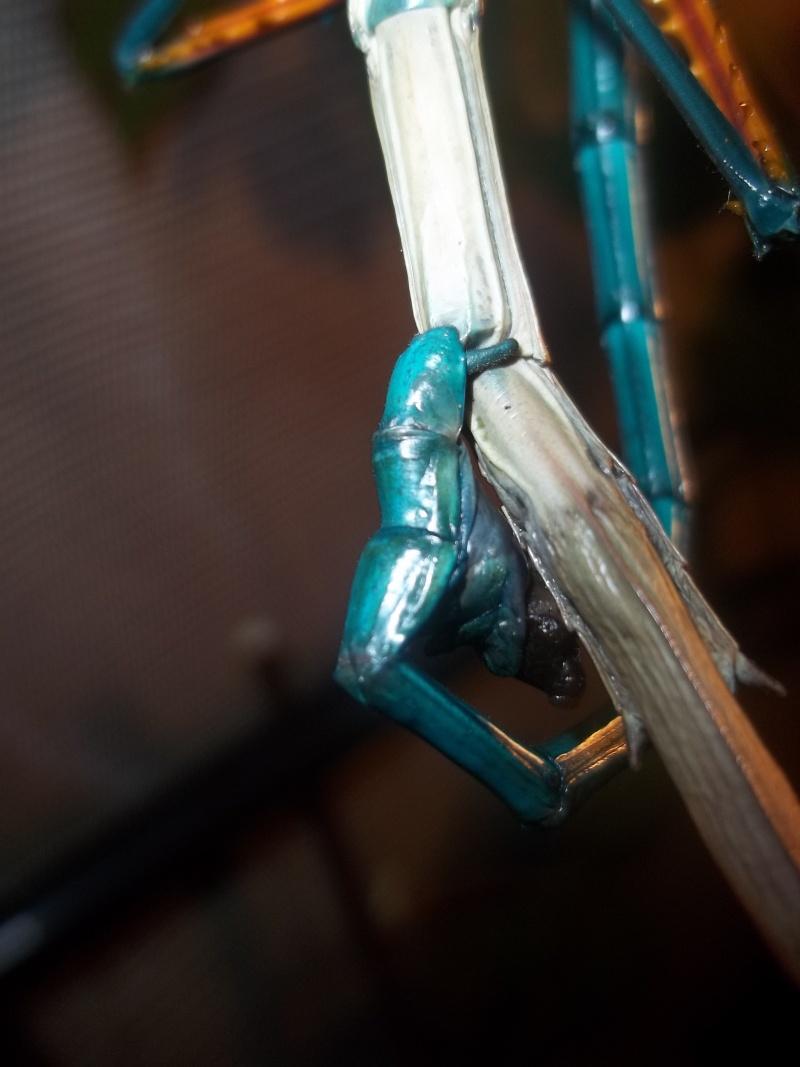 Mes Achrioptera fallax 100_3016