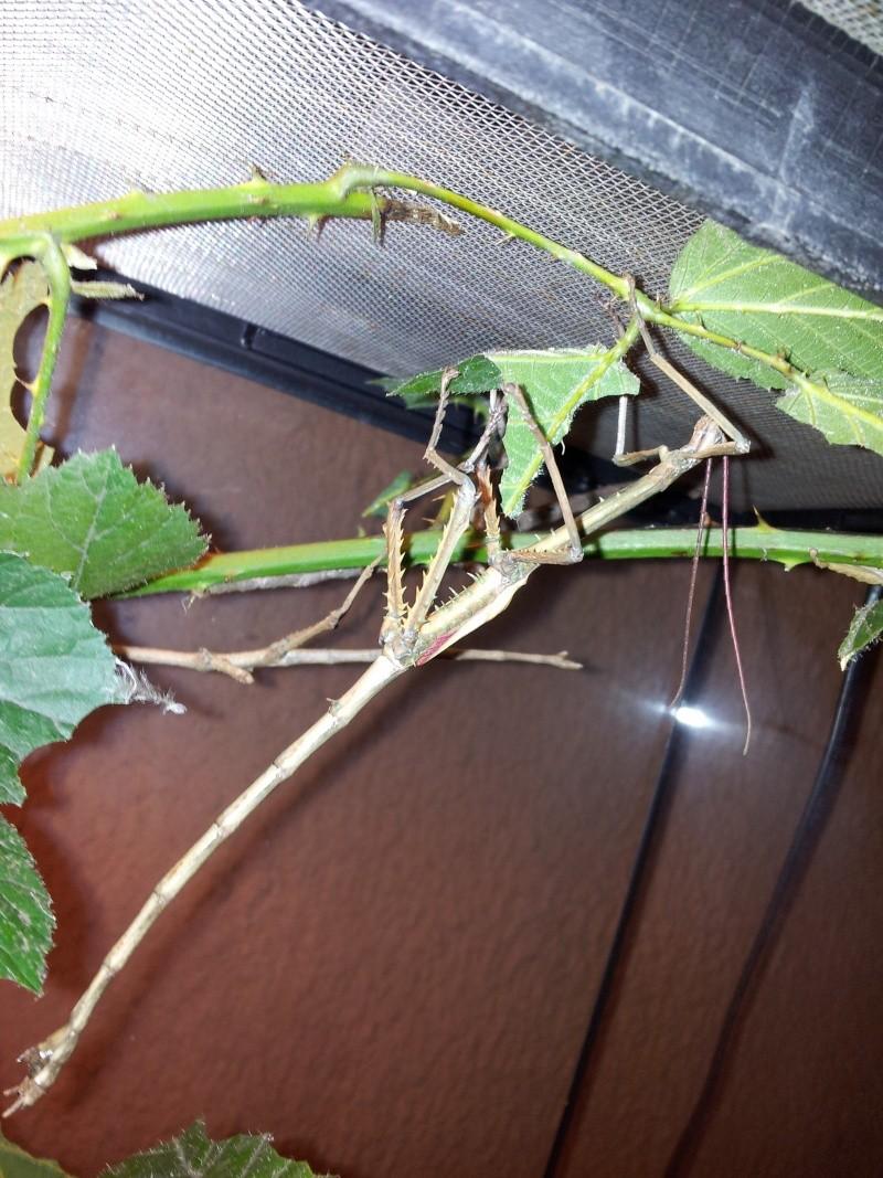 Mes Achrioptera fallax 20130117