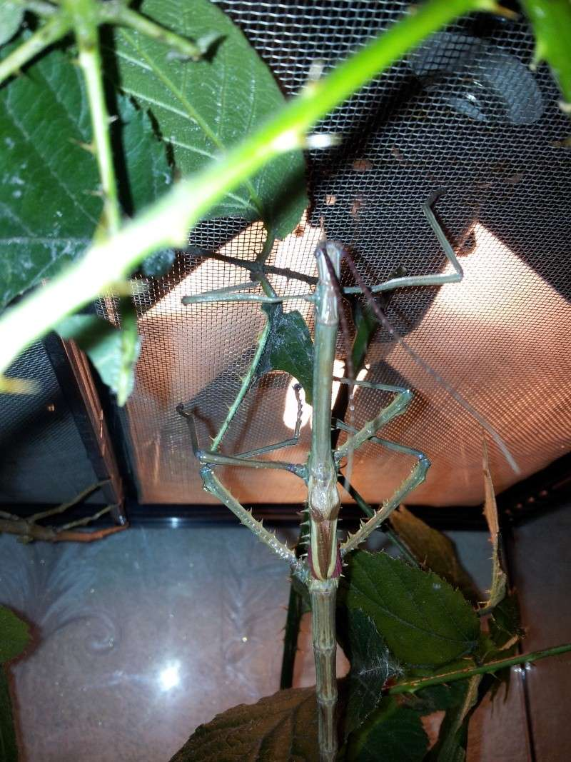 Mes Achrioptera fallax 20130118