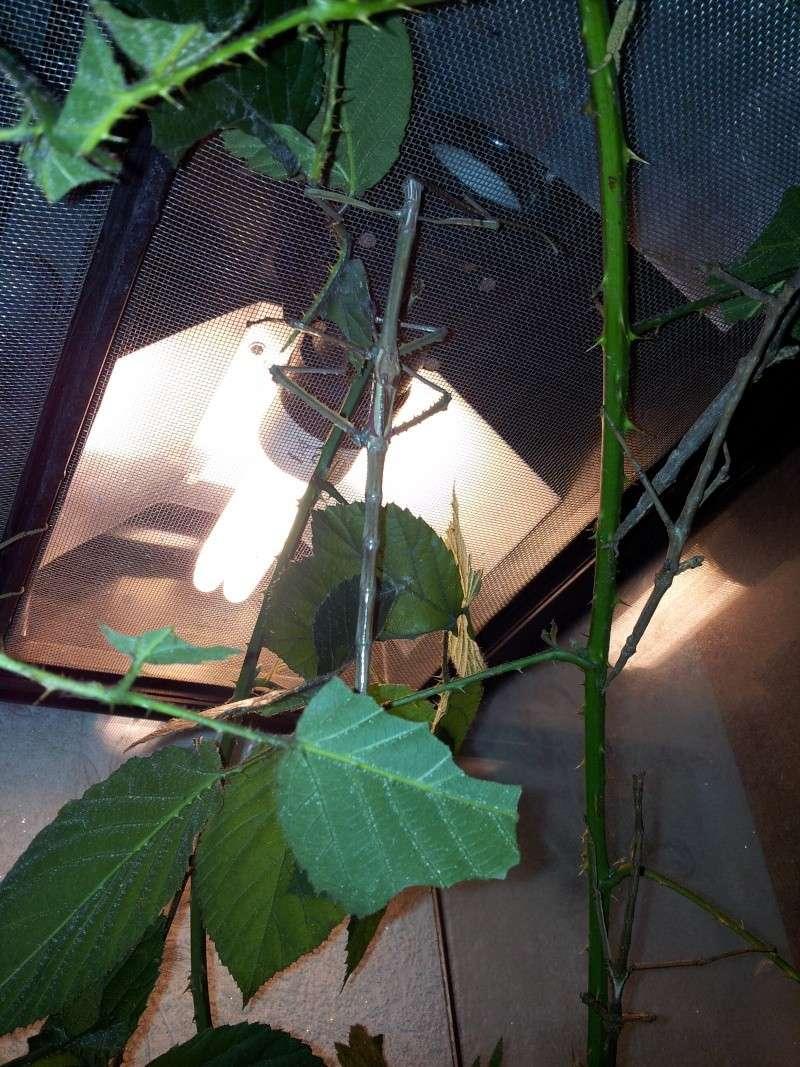 Mes Achrioptera fallax 20130119