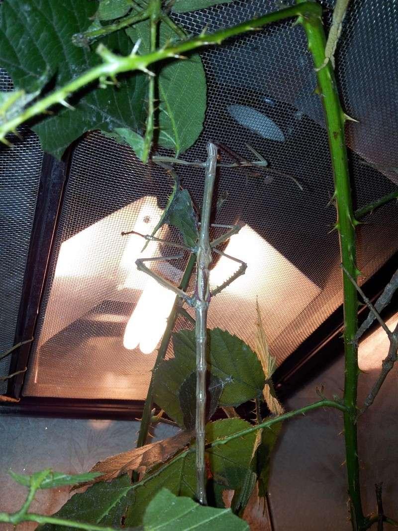 Mes Achrioptera fallax 20130120
