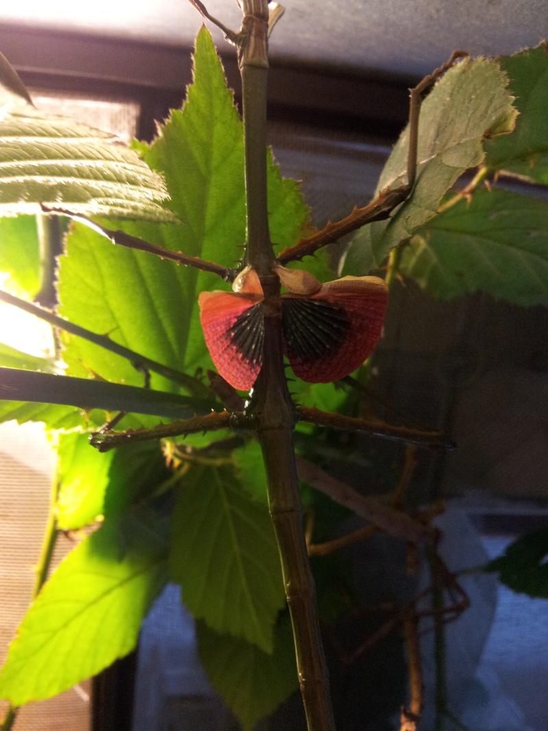 Mes Achrioptera fallax 20130121
