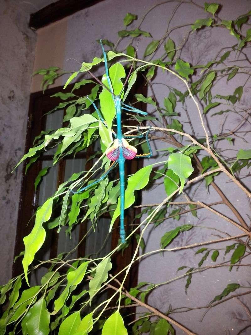 Mes Achrioptera fallax 20130123