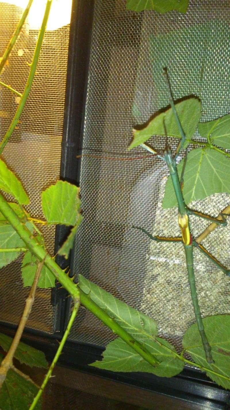 Mes Achrioptera fallax Dsc_0610