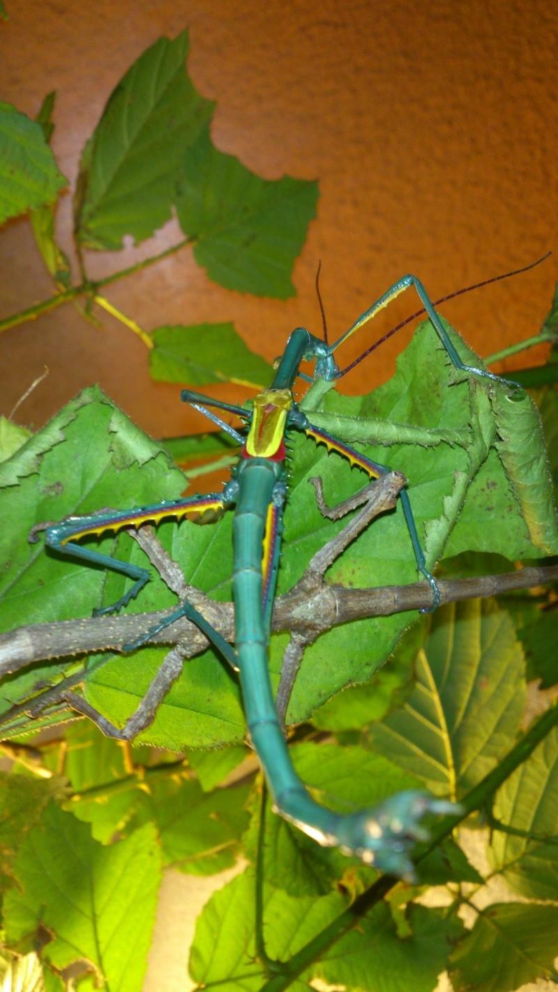 Mes Achrioptera fallax Dsc_0710