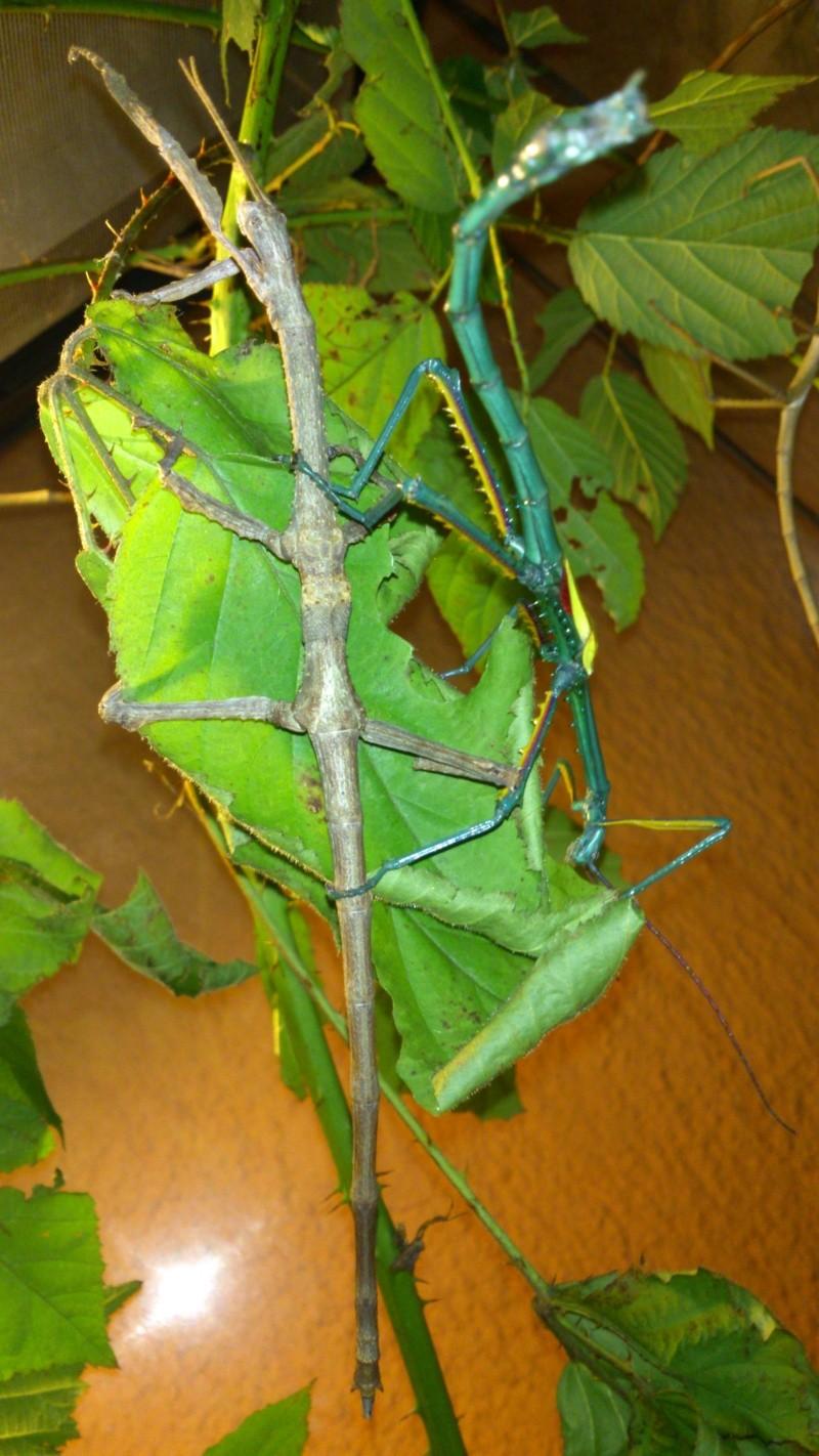 Mes Achrioptera fallax Dsc_0711