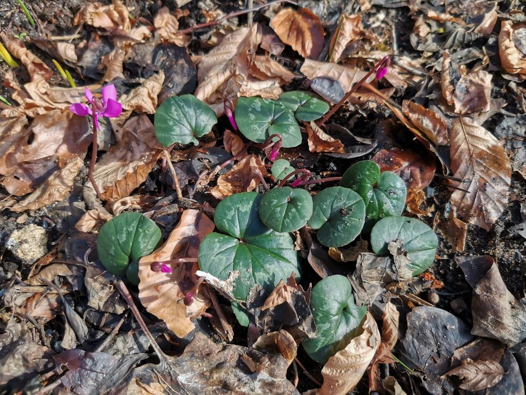 Erste Frühlingsboten im Garten und in Wald und Flur, Teil 2 Alp_210
