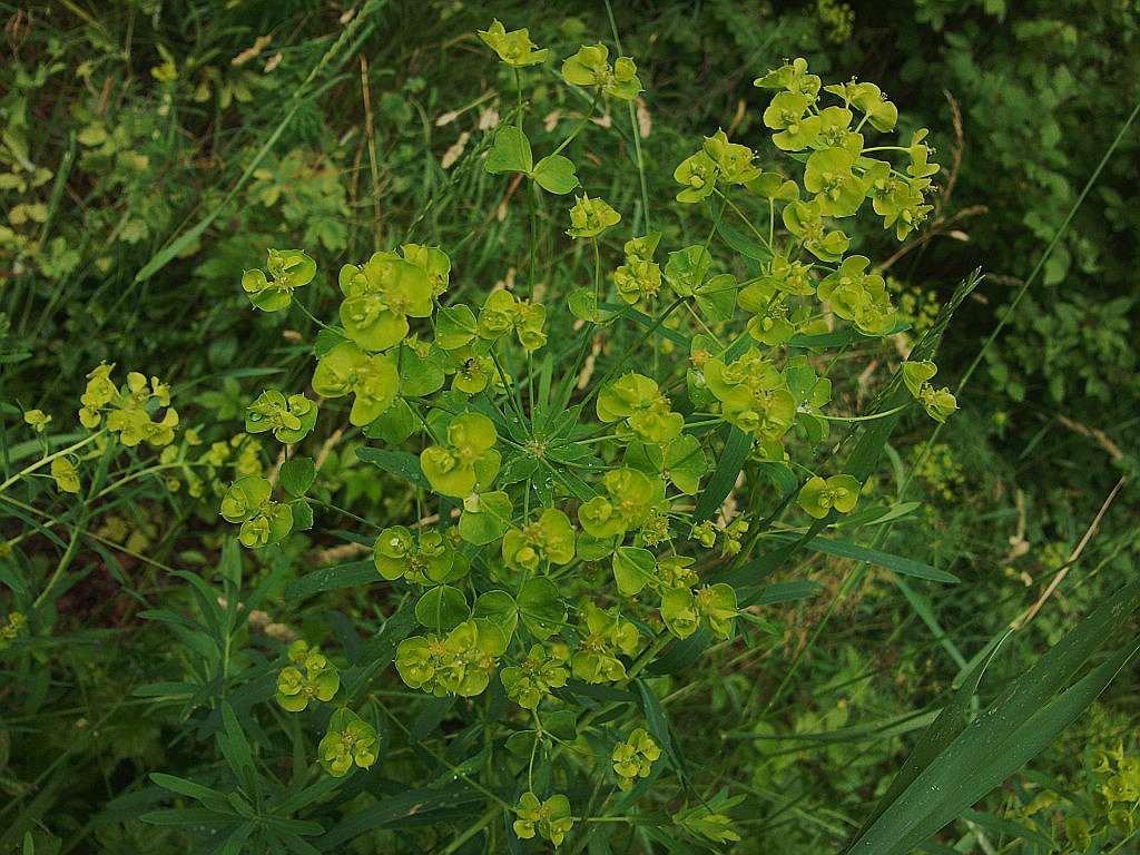 Wolfsmilchgewächse (Euphorbiaceae) - alle Nichtsukkulenten Euphor12