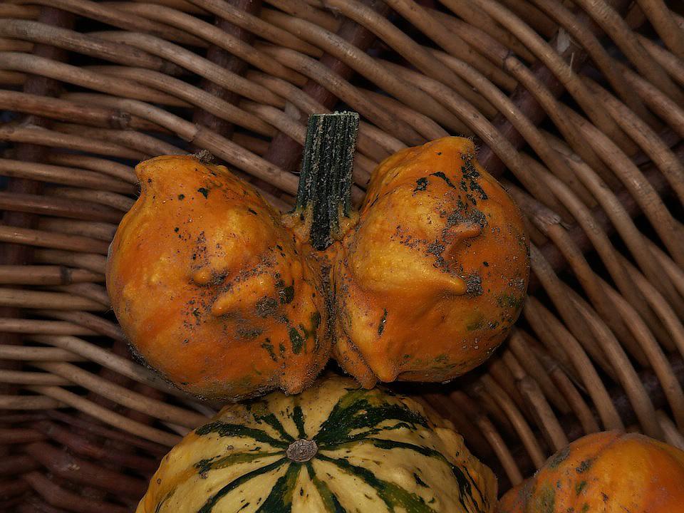 Kürbisgewächse - Cucurbitaceae: Melonen, Gurken, Kürbisse und Zucchini - alle Verteter der nichtsukkulenten Arten - Seite 17 Imag0140
