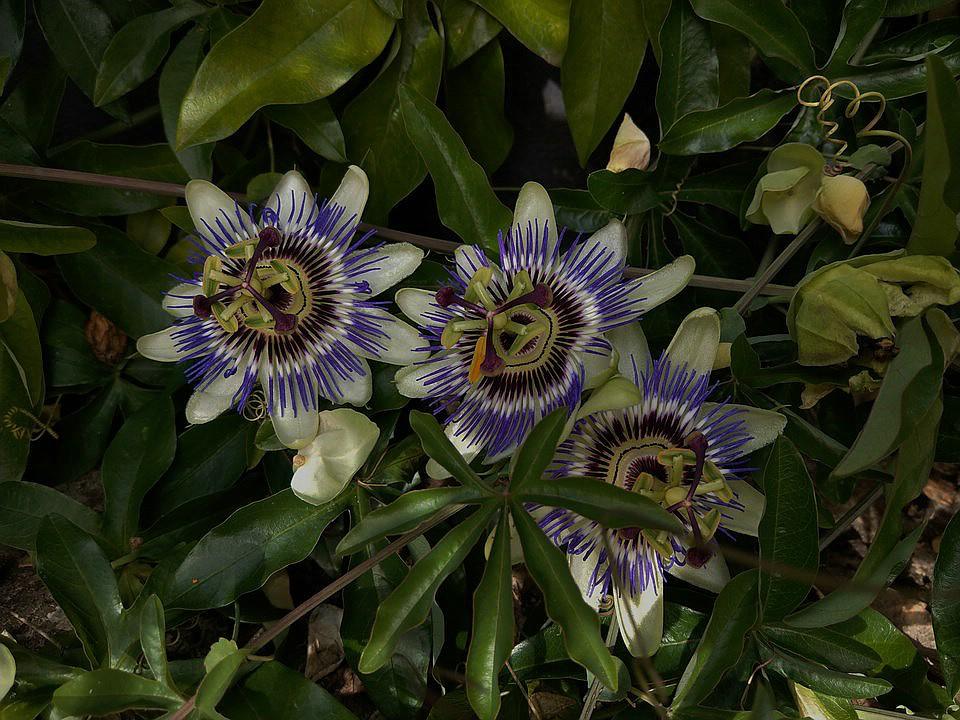 """Passiflora - Passionsblume - kleine """"Juwelen"""" - alles über Aussaat, Pflege, Vermehrung und natürlich Blütenbilder :) - Seite 30 Imag0224"""