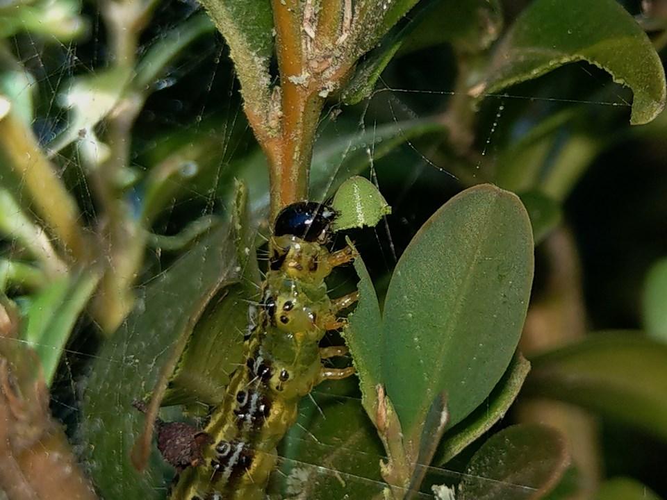 Bekämpfung des Buchsbaumzünslers (Abspaltung aus dem Thema Anwenderschutz beim Pflanzenschutz) Imag0517