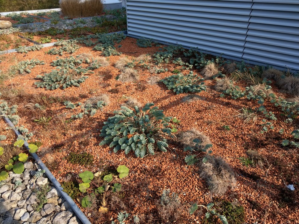 Wolfsmilchgewächse (Euphorbiaceae) - alle Nichtsukkulenten Imag1222