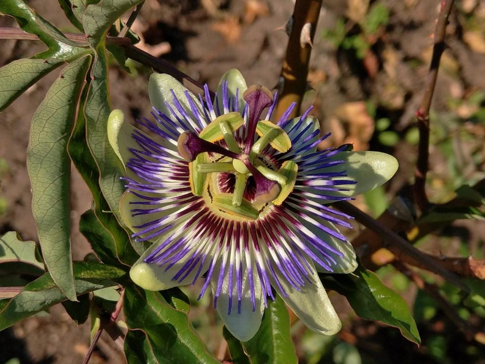 """Passiflora - Passionsblume - kleine """"Juwelen"""" - alles über Aussaat, Pflege, Vermehrung und natürlich Blütenbilder :) - Seite 28 Imag1624"""