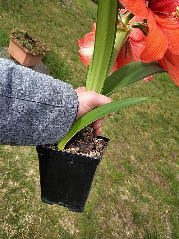 Amaryllisgewächse - Amaryllidaceae (Hippeastren, Nerine, Amaryllis, Agapanthus und auch Allium & Narzissen) - Seite 73 Imag2032