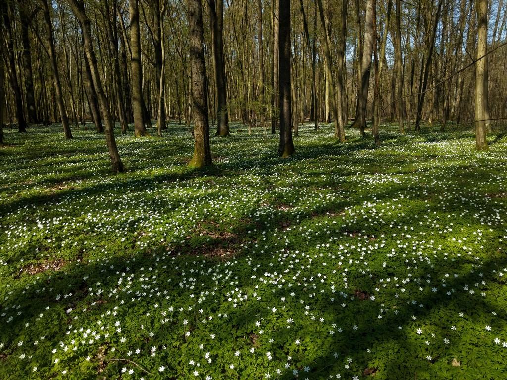 Erste Frühlingsboten im Garten und in Wald und Flur - Seite 94 Imag2242